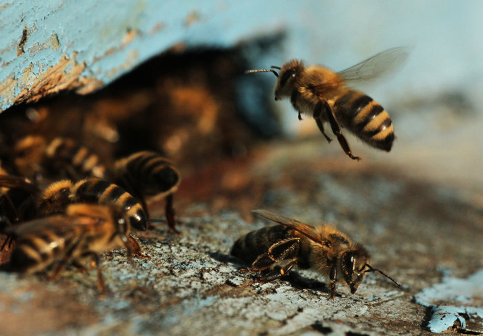 bees entering beehive